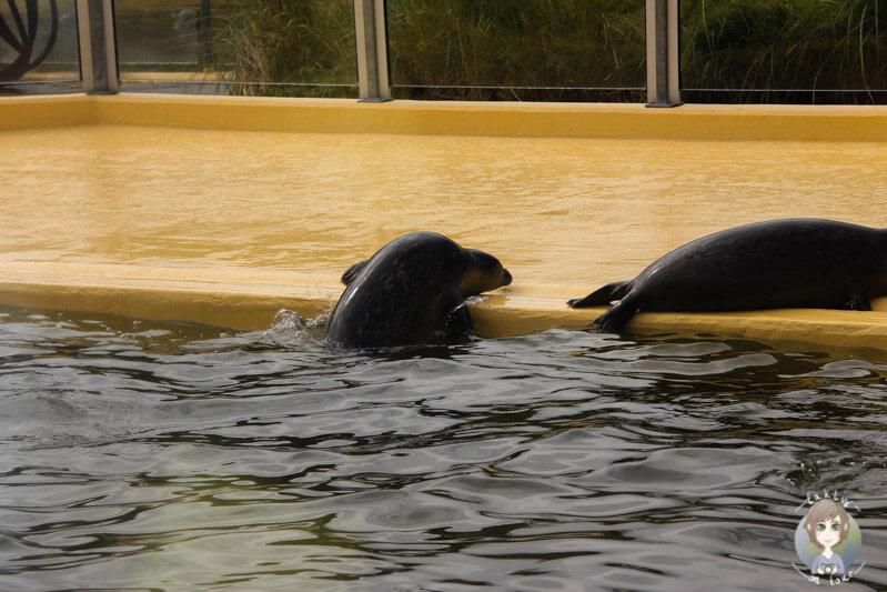 Seehunde in Norddeich beim Spielen