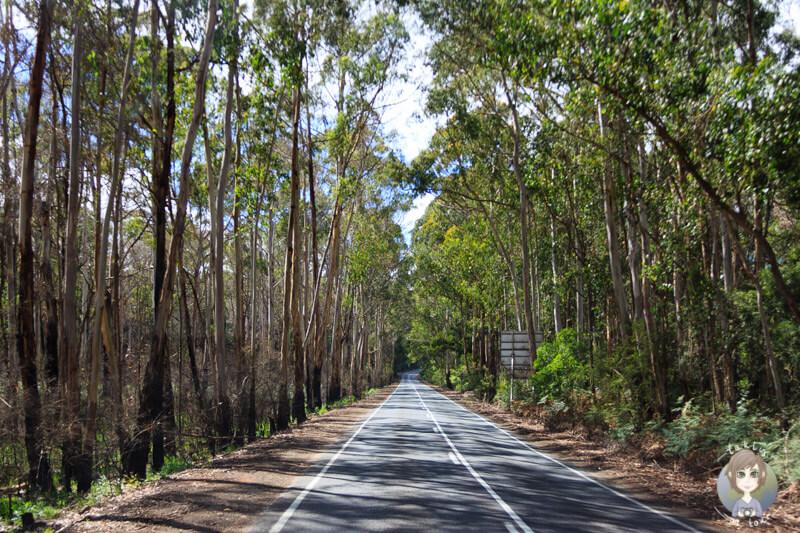 Ein Wald voller Eukalyptusbäume folgt dem nächsten