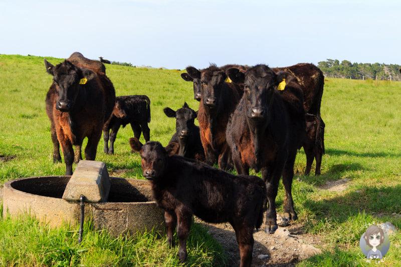 Kühe auf Neuseelands Nordinsel
