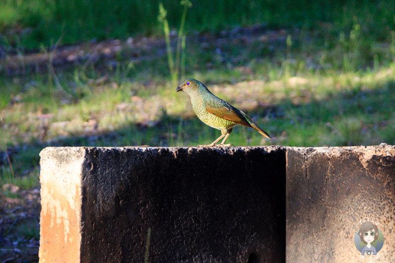 Vogel in NSW, Australien