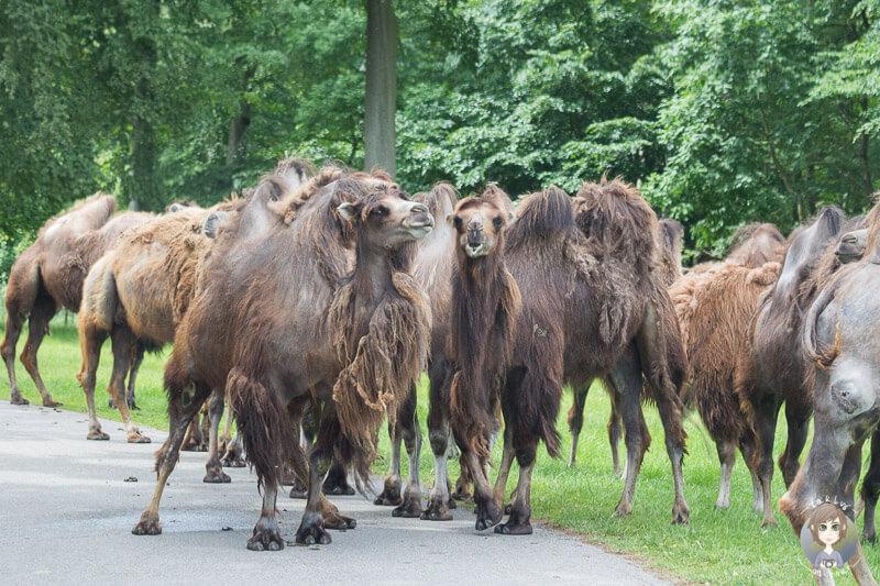 Eine Herde Trampeltiere in Knuthenborg