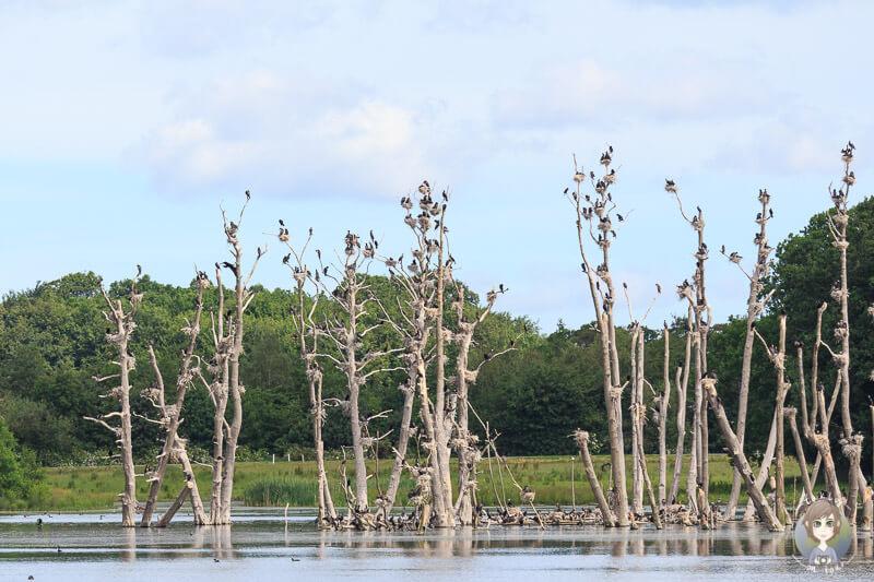 Die Komoran-Kolonie im Naturreservat Nysted