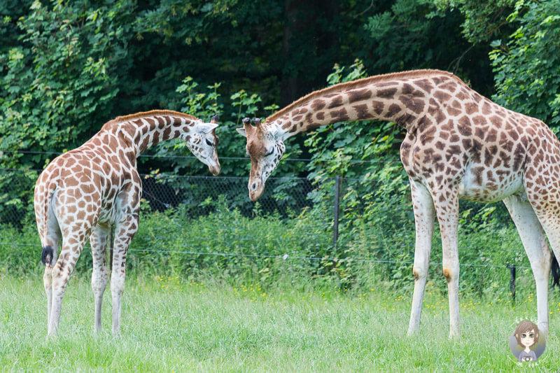 Giraffen im Knuthenborg Park