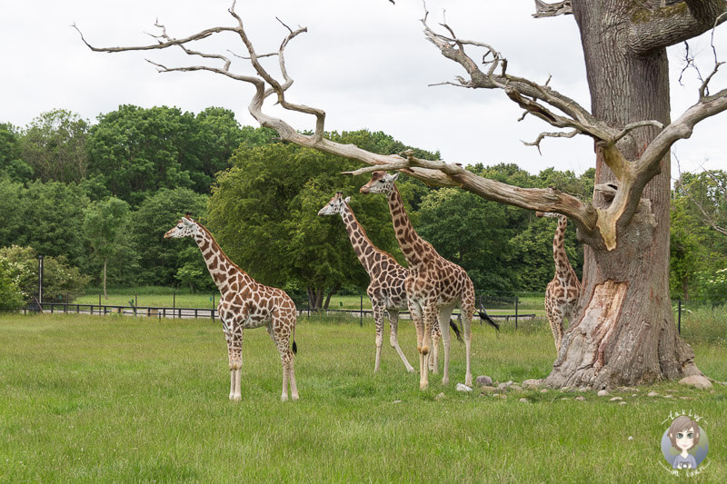Giraffen im Safaripark Kopie
