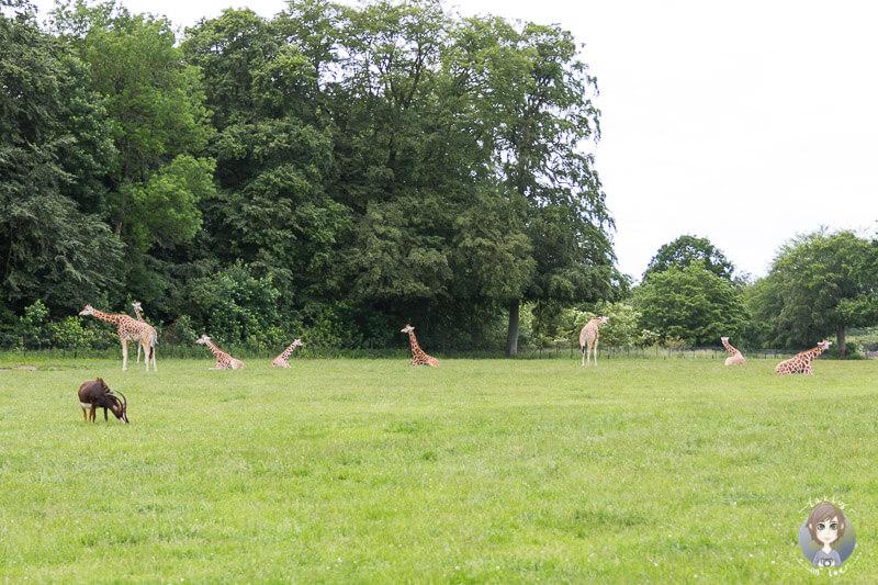 Giraffen machen Pause