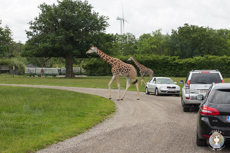 Mit dem Auto durch den Safaripark Knuthenborg