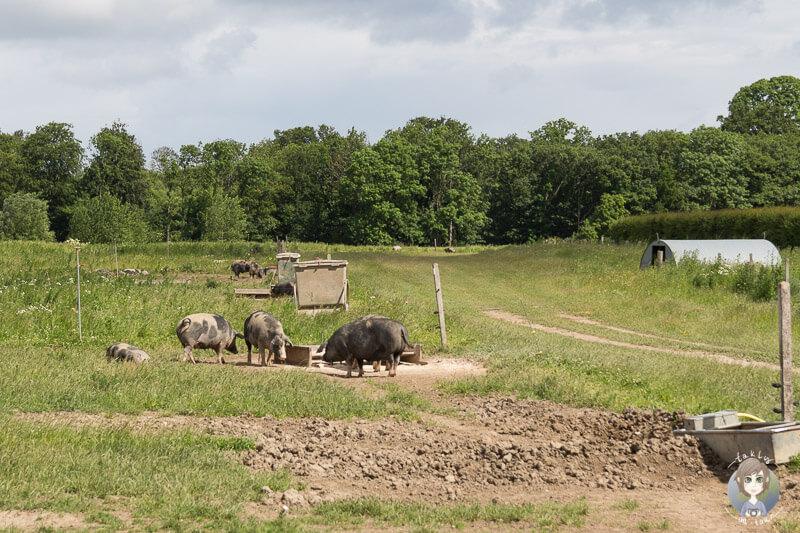 Schweine auf dem Bauernhof Knuthenlund