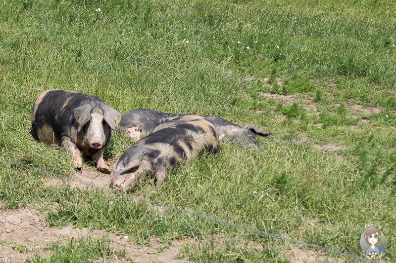 Die Schweine liegen faul im Gras