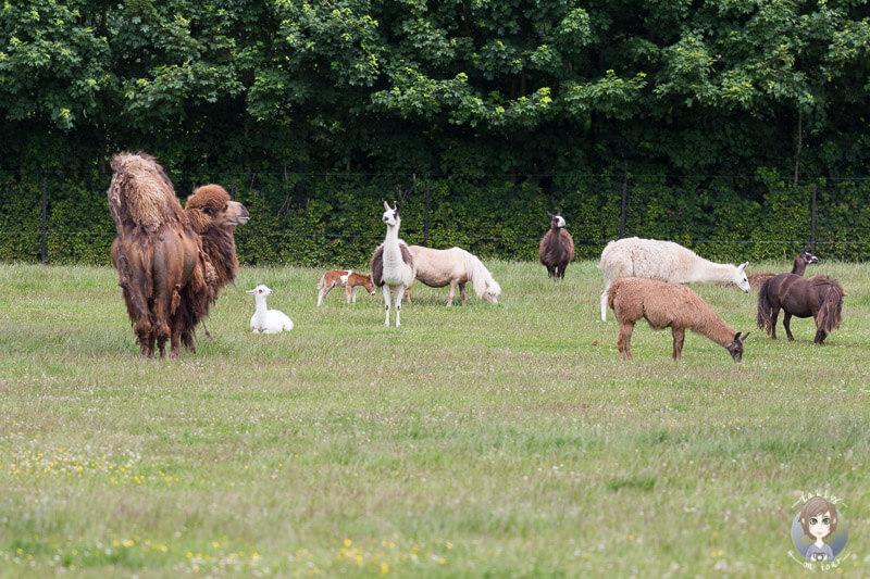Lamas, Ponys und ein Trampeltier im Safaripark in Dänemark