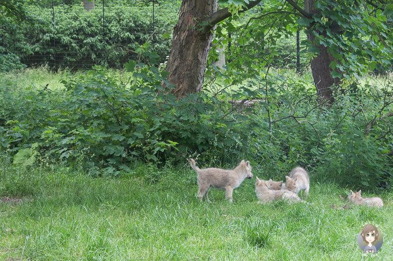 Spielende Wölfe im Knuthenborg Park