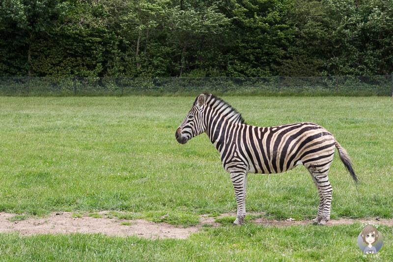 Ein Zebra im Safaripark Knuthenborg, Dänemark
