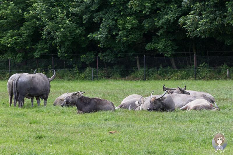 Zwergzebus liegen auf der Wiese im Safaripark