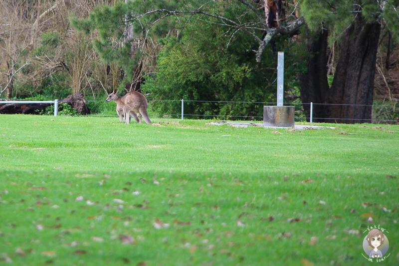 Kängurus in der Bendeela Recreation Area, NSW
