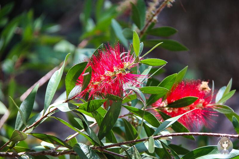 Schöne Blumen in Botanic Gardens, Booderee-Nationalpark, NSW, Australien