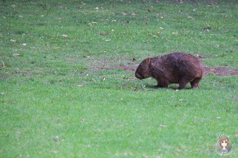 Ein Wombat in der Bendeela Recreation Area, NSW