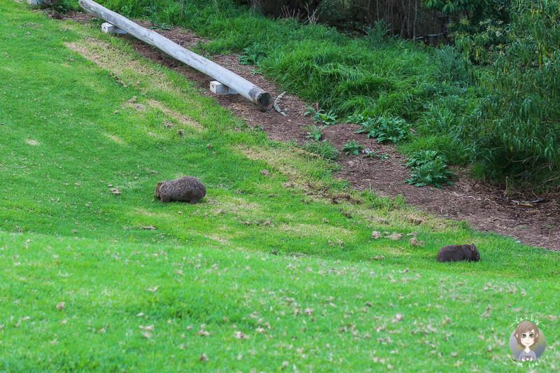 Wombats - Kangaroo Valley