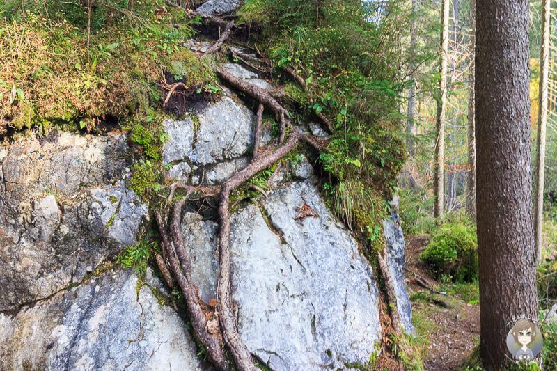 Wurzeln an einem Fels im Zauberwald