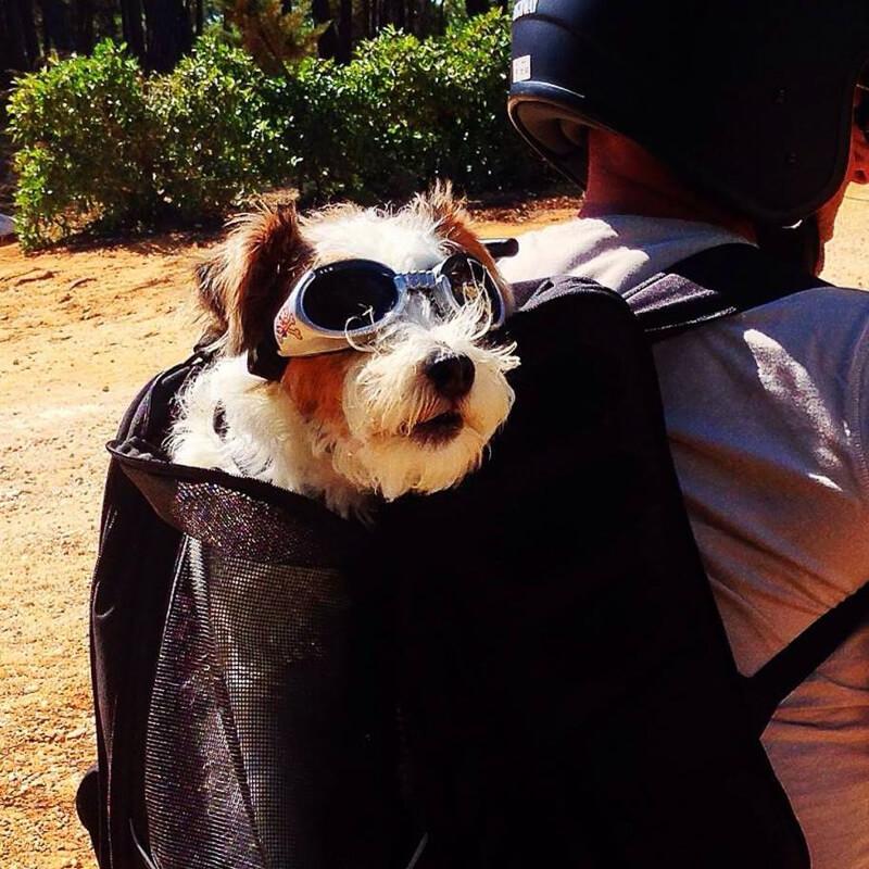 Hund auf dem Roller im Rucksack