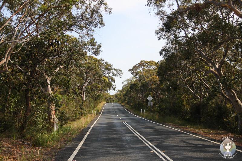 Straße mit australischen Baeumen links und rechts auf der Fahrt durch den Royal National Park in Australien