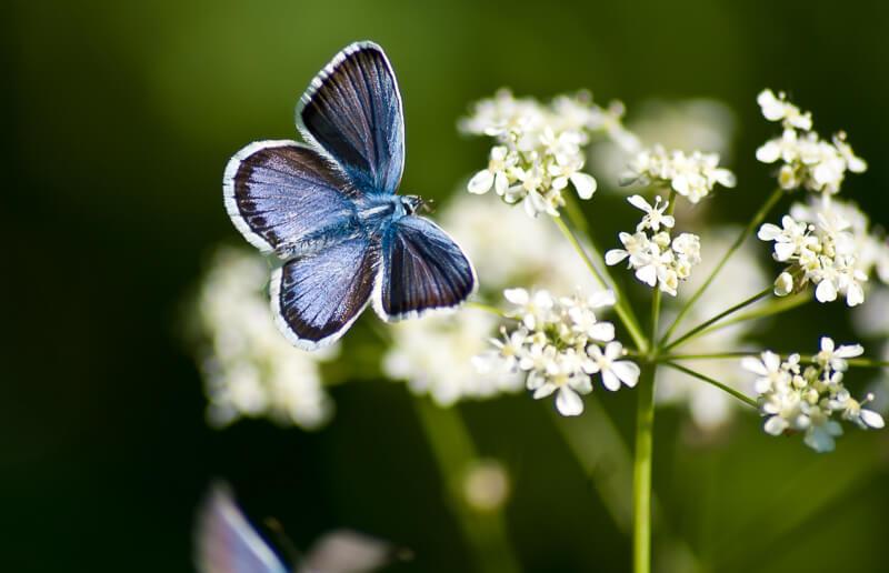 Ein blauer Schmetterling auf einer weissen Blume