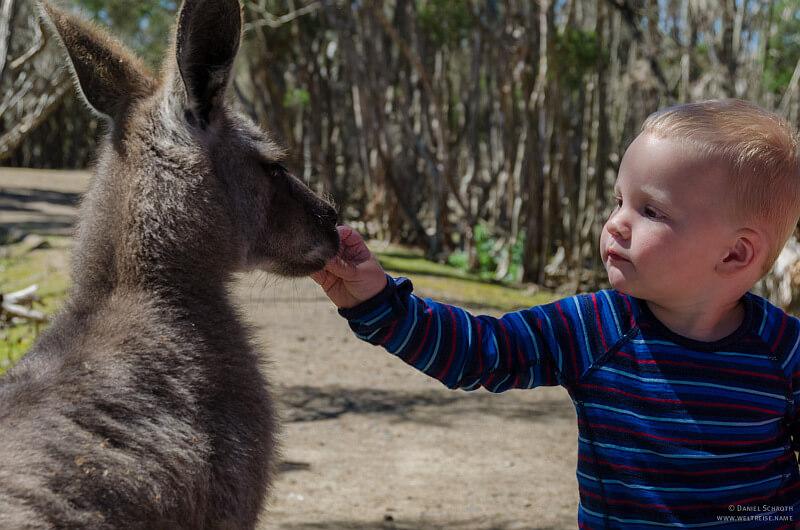 Elternzeit in Neuseeland und Australien der Sohn fuettert ein Kaenguru