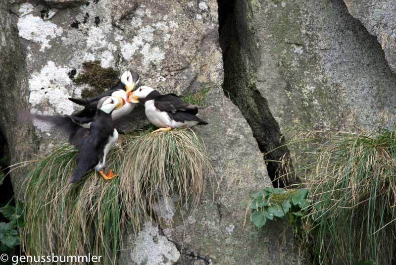Tiere in Alaska die Puffins