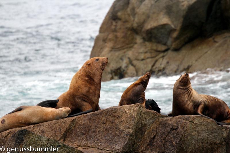 Tiere in Alaska wie diese Seeloewen auf einem Stein