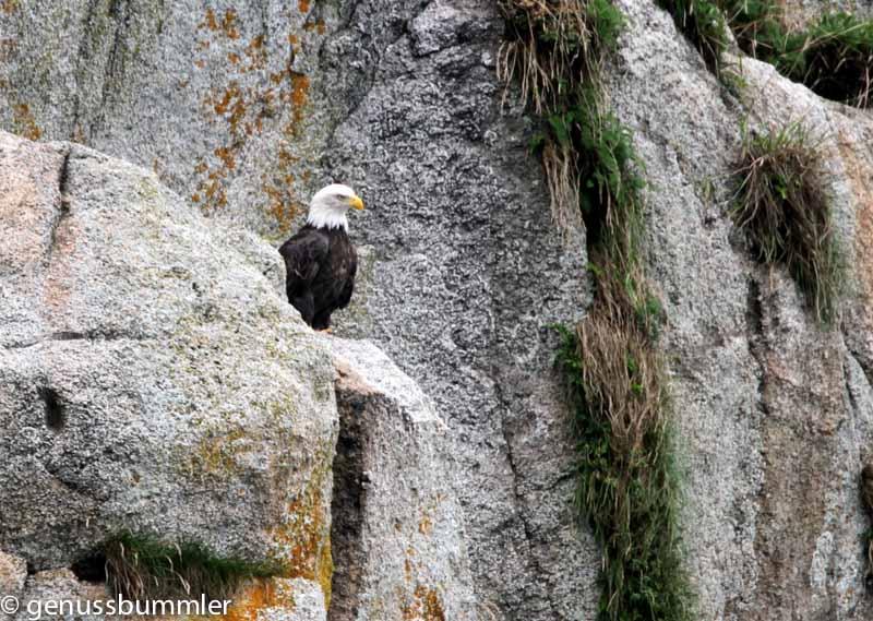 Tiere in Alaska wie hier ein Weisskopfseeadler