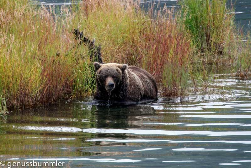 Baer im Wasser auf der Suche nach Fisch das sind Tiere in Alaska