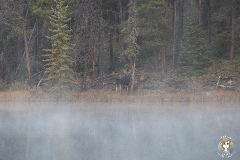 Ein Elch am Leach See auf dem Highway93a, Kanada