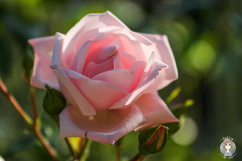 Rose Schlossgarten