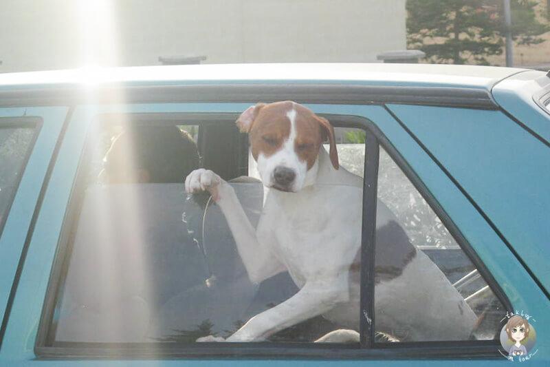 Ein Hund schaut aus einem fahrenden Auto