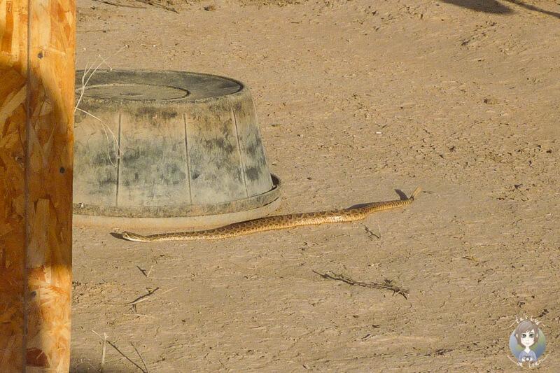 Eine Klapperschlange auf der Ranch