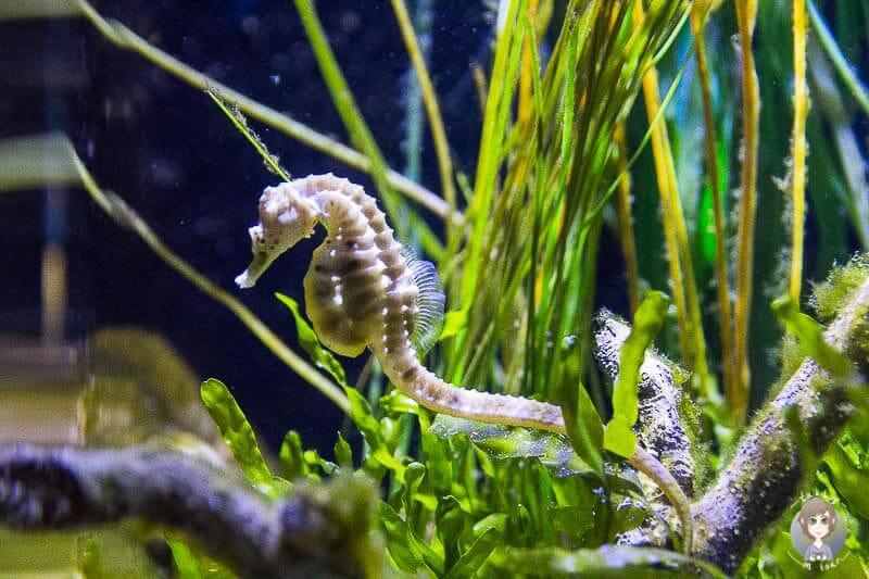 Ein Seepferdchen im Sea Life Königswinter