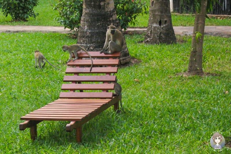 Affen im Hotelgarten in Kenia