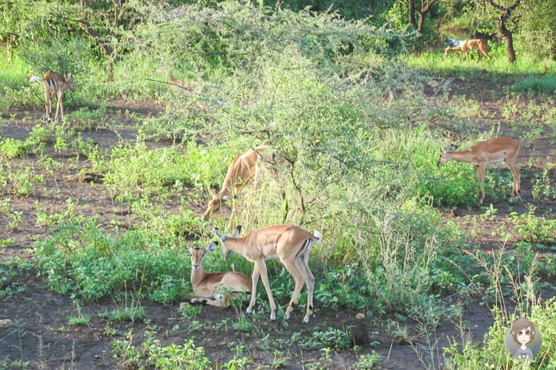 Dikdiks die kleinste Antilopenart auf unserer Keniasafari