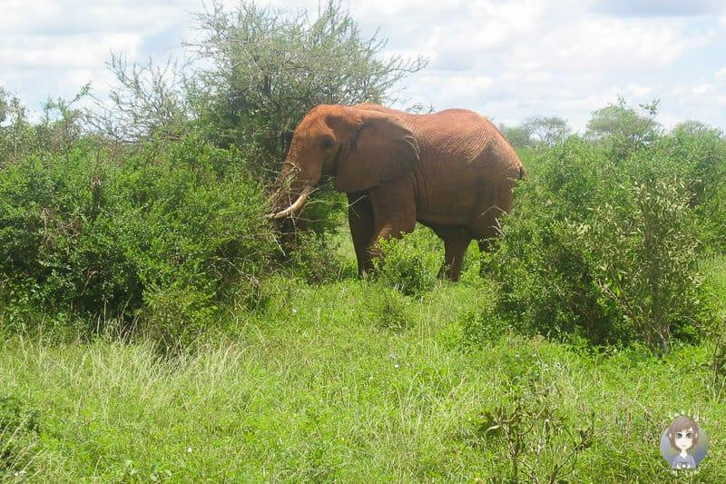 Ein grosser Elefant auf unserer Kenia Safari