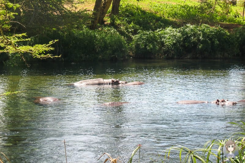 Hippos in den Mzima Springs im Tsavo Nationalpark