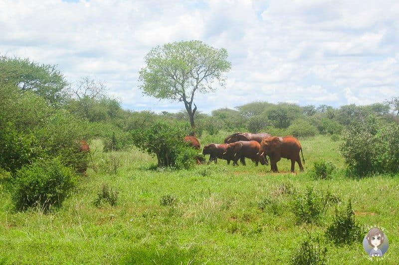 Eine Elefantenherde im Tsavo Nationalpark Kenia
