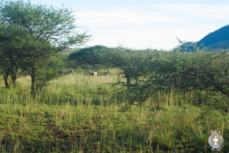 Eine Herde Zebras am Camp