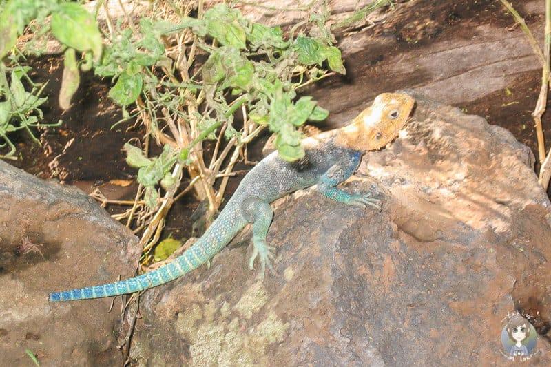 Ein buntes Geschöpf in Kenia