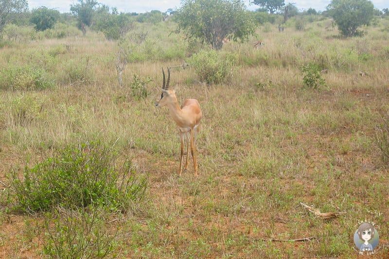 Eine Garzelle auf unserer Kenia Safari