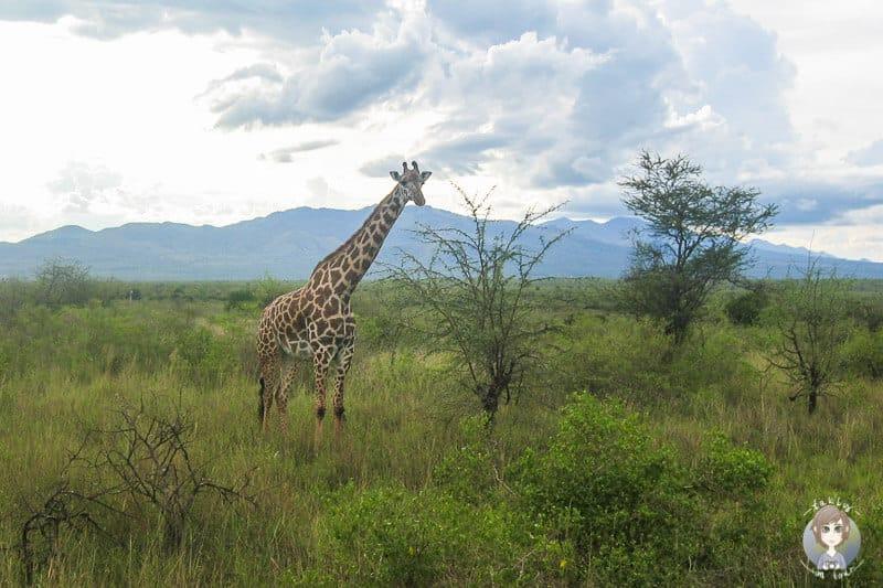 Eine Giraffe auf unserer Kenia Safari