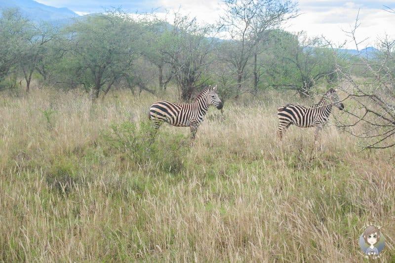 Zebras auf unserer Kenia Safari