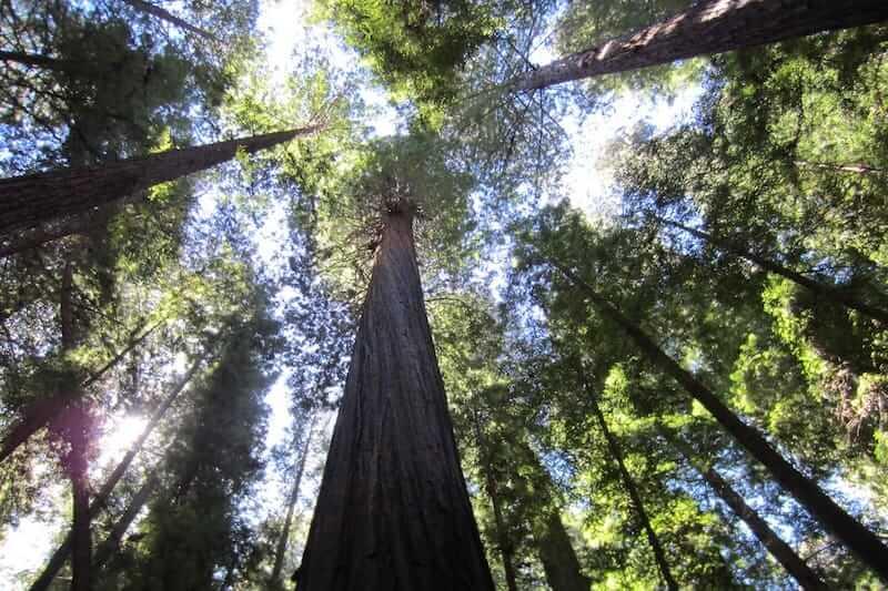 Blick hinauf auf die mächtigen Redwoodbäume auf dem Roadtrip entlang der Kaskadenkette