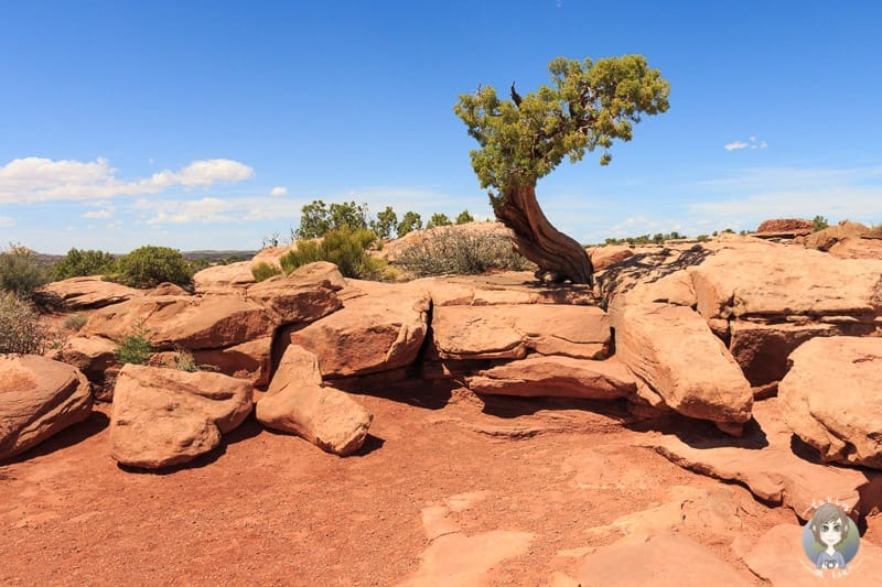 Ein Baum am Dead Horse Point