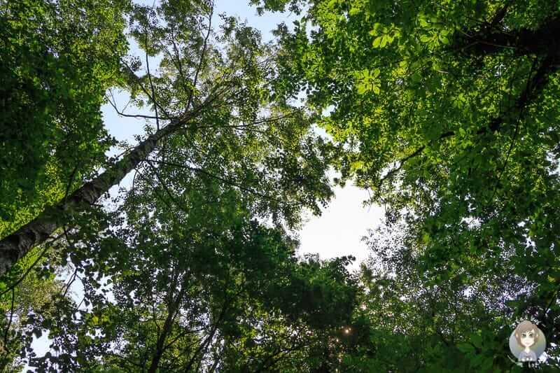Blick in die Baumkronen im Naturschutzgebiet Hannoversche Klippen