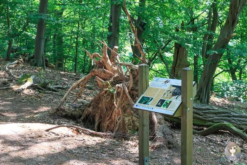Auf dem Holzweg gibt es eine Baumwurzel zu bestaunen