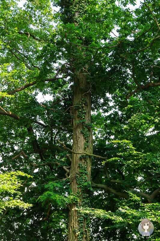 Efeu rankt einen Baum empor im Naturschutzgebiet Hannoversche Klippen