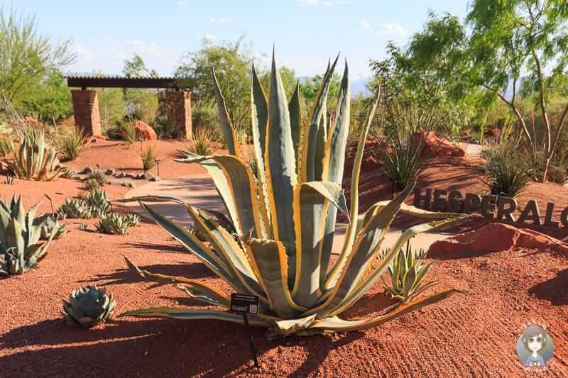 Ein Kaktus im Red Hills Desert Garden Park